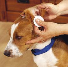 Cómo limpiar las orejas del perro?