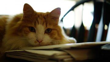 gato orina