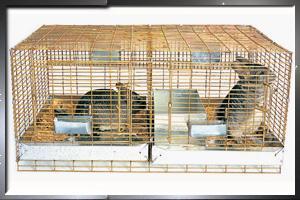 Cómo limpiar la jaula de un conejo?