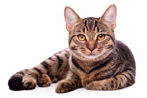 Como limpiar los dientes de un gato - Fundas para unas de gato ...