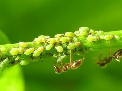 C mo limpiar o eliminar a las hormigas de nuestras plantas - Como acabar con las hormigas en el jardin ...