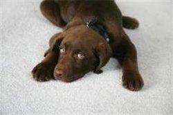 Cómo limpiar manchas de orina en alfombras?