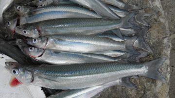 peces pejerrey