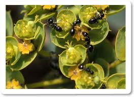 Cómo limpiar/eliminar hormigas de las plantas?