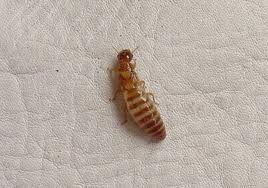 Cómo limpiar/eliminar las termitas de tu casa?
