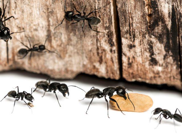 C mo eliminar las hormigas con productos naturales o caseros - Eliminar hormigas cocina ...
